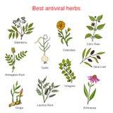 Set of antivitral herbs Stock Photos