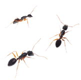 Set ants isolated on white Royalty Free Stock Photography