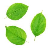 Set of apple tree leaves isolated on a white Stock Photography