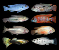 Set of aquarium fishes on black background Royalty Free Stock Image