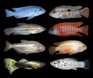 Set of aquarium fishes on black background Royalty Free Stock Image