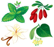 Set of aromatic plants. Vanilla, barberry, linden and mint Stock Photos