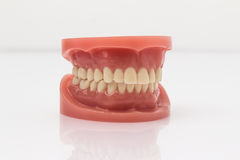 Set of artificial false teeth. Set of artificial lower and upper jaw false teeth viewed low angle across a wooden table with copyspace Stock Photo