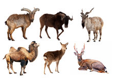 Set of Artiodactyla mammal animals. Isolated over white background Stock Images