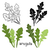 Set of arugula  isolated on white background. Hand drawn  Stock Image