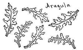 Set of Arugula Rucola, Rocket Salad Fresh Green Leaves. Aromatic Herb. Fresh Cooking Salad Ingredient. Hand Drawn Illustration. Sa. Voyar Doodle Style Stock Photography