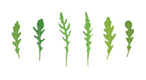 Set of arugula rucola, rocket salad fresh green leaves isolated over white background. Vector hand drawn illustration royalty free illustration
