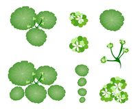 A Set of Asiatic Pennywort on White Background Royalty Free Stock Image