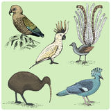 Set of australian birds engraved, hand drawn vector illustration in woodcut scratchboard style, vintage drawing species. Stock Photography