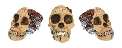 Set of Australopithecus africanus Skull .  Taung Child  . Dated to 2.5 million years ago . Discovered in 1924 in a limestone qua. Rry near Taung village , South Stock Image