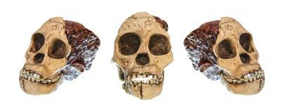 Set australopitka africanus czaszka Taung dziecko Datujący 2 5 milion rok temu Odkrywający w 1924 w wapnia qua Obraz Stock