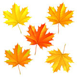 Set of autumn fallen leaves. Of a maple for design royalty free illustration