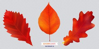 Set of autumn leaf. Vector  illustration Royalty Free Stock Photo