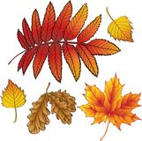A set of autumn leaves Royalty Free Stock Photo