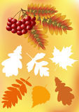 Set autumn leaves. Ashberry. Royalty Free Stock Photography