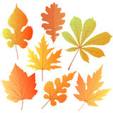 A set of autumn leaves. Element decor for the design of greetings to Teacher, Thanksgiving Day, Oktoberfest Stock Images