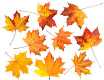 Set of Autumn leaves, isolated. Royalty Free Stock Photo