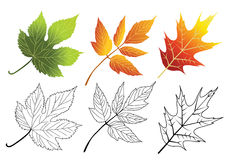 Set of autumn leaves. Maple, Acer negundo, Hop. Royalty Free Stock Photography