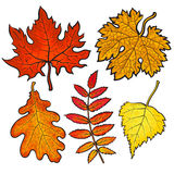 Set of autumn leaves - maple, aspen, oak and rowan Stock Images