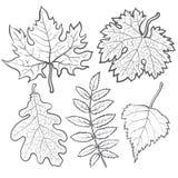 Set of autumn leaves - maple, aspen, oak and rowan Stock Photos