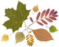 Set of autumn leaves. Rowan leaf, maple leaf, birch leaf Royalty Free Stock Photography
