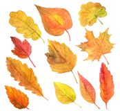 Set autumn leaves in watercolor Stock Photos