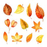 Set autumn leaves watercolor. Stock Photos