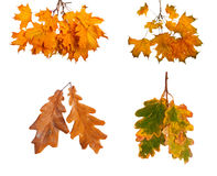 Set the autumn maple branch with leaves isolated on background Royalty Free Stock Photo