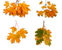 Set the autumn maple branch with leaves isolated on background Stock Photo