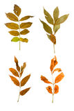 Set the autumn maple branch with leaves isolated Stock Photos