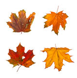 Set the autumn maple branch with leaves isolated Stock Photography