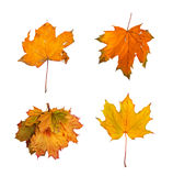 Set the autumn maple branch with leaves isolated Royalty Free Stock Photos