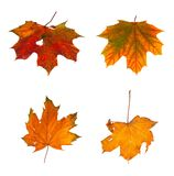 Set the autumn maple branch with leaves isolated Stock Image
