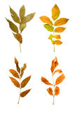Set the autumn maple branch with leaves isolated Royalty Free Stock Photo