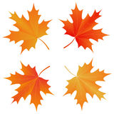 Set of autumn maple leaf Royalty Free Stock Photos