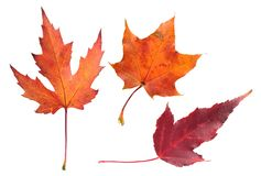 Set of autumn maple leaves isolated on white Royalty Free Stock Images