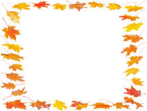 Set of Autumn maple leaves with place for your text Stock Photos