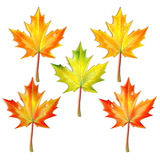 Set of autumn maple leaves Royalty Free Stock Photography