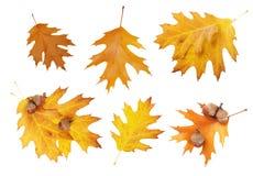 Set of autumn oak leaves Stock Image