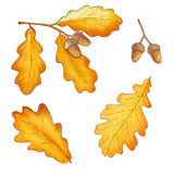 Set of autumn oak leaves and acorns isolated on white background Royalty Free Stock Image