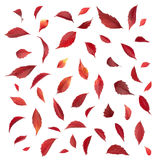 Set of Autumn Parthenocissus leaves isolated on a white. Set of Autumn Parthenocissus leaves isolated on white background Stock Photos