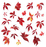 Set of Autumn Parthenocissus leaves isolated on a white. Set of Autumn Parthenocissus leaves isolated on white background Royalty Free Stock Photos