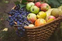 Set for autumn picnic: apples and grapes in a wicker basket, healthy food Royalty Free Stock Photo