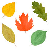 Set of Autumnal Leaves, Watercolor Drawn, Isolated. Set of Colorful Autumnal Tree Leaves, Watercolor Hand Drawn and Painted, Isolated on White Stock Photo