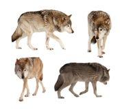 Set av få wolves. Isolerat över white Royaltyfri Fotografi