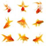 Set av guldfisk Royaltyfri Foto