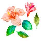Set av tropiska blommor hibiskus Sidor Vattenfärgvektor Royaltyfri Bild