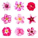 Set of azalea flowers Stock Photos