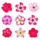 Set of azalea flowers Royalty Free Stock Image
