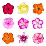 Set of azalea flowers Royalty Free Stock Images